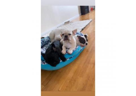 2 Female and 1 male French bulldog puppies