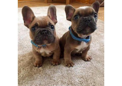 AKC French Bulldog Male and Female For Sale