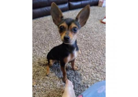 One male chihuahua puppy