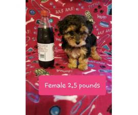 Beautiful Tiny Yorkie Poo Puppies