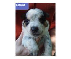 4 Beautiful Blue Heeler pups for adoption