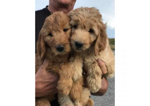 F1 Goldendoodle Pups for sale