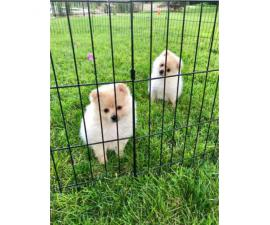 2 Pomeranian male puppies for sale