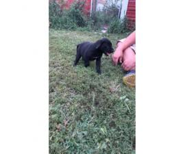 8 weeks old Labany Puppies for sale