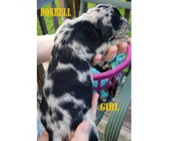 Dox-Bull Puppies for Sale Dachshund x Pitbull Rare