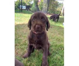Griffon and Lab Puppies