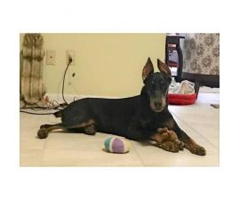 6 months old AKC Doberman puppy for sale