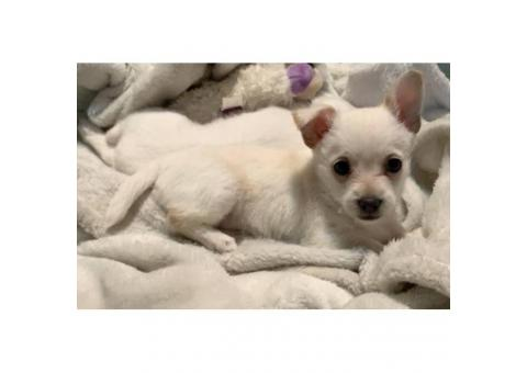 7 weeks old white chihuahua puppies