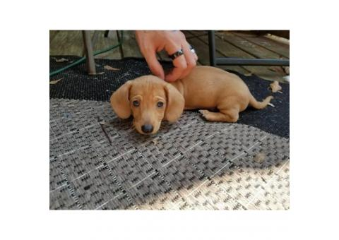 1 Dachshund Male Puppy left