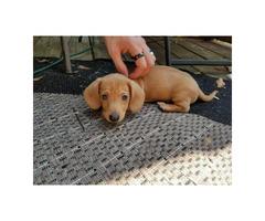 1 Dachshund Male Puppy left