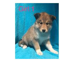 Siberian Husky X Collie Puppies