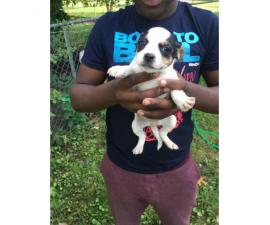 5 Pit bull puppies for sale