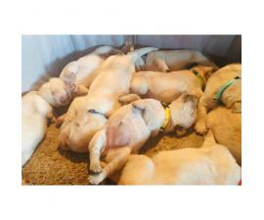 Yellow labrador retriever puppies