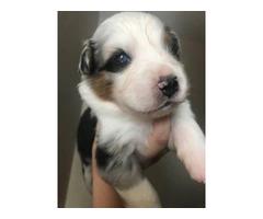 6 Aussie Puppies for Sale