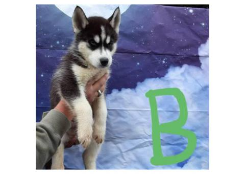 Eight CKC husky puppies for sale