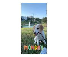 4 months old beagle / husky puppy mix