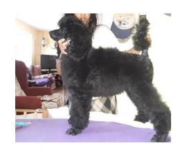 15 weeks old AKC Standard poodle puppies