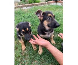 10 weeks old German shepherd puppies females only