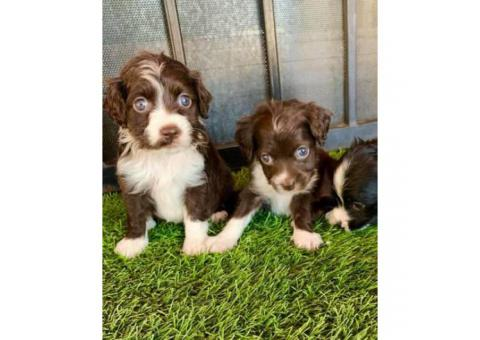7 Weeks Old Cute And Playful Cockapoo In Phoenix Arizona Puppies For Sale Near Me