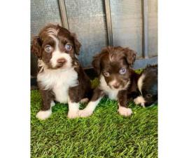 3 cute Cockapoo puppies for sale