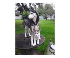 3 purebred Siberian husky puppies