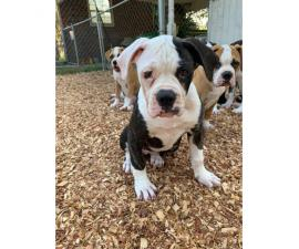 6 American Bulldog Puppies for Sale