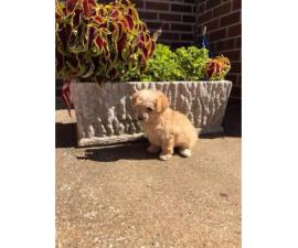9 weeks old Yorkipoo puppy