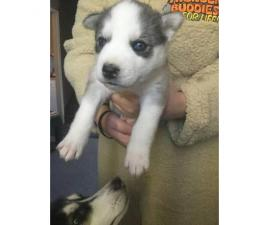 Purebred Male Husky pups