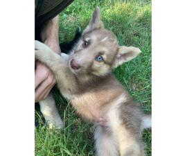 2 husky shepherd mix puppies