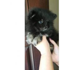 Pomeranian puppy male black & tan