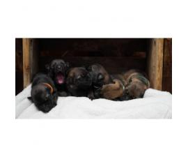 12 AKC German Shepherd Puppies