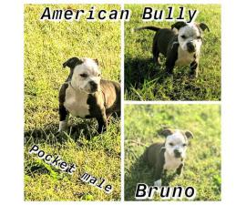 7 Purebred American bully puppies