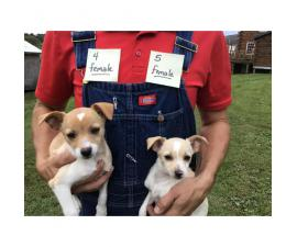 6 Chihuahua hybrid puppies for sale