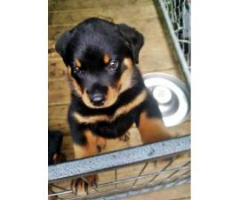 Rottweiler pups - one male & one female Available