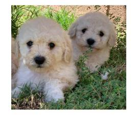 8-week-old Maltese-Shih Tzu Mix puppies for sale