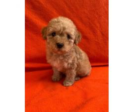 2 months old Purebred Red Poodle puppy for Sale