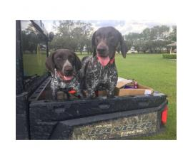 Two German Short-haired Pointers
