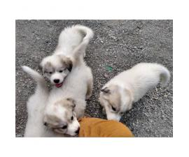 Four Great Pyrenees puppies available