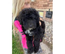 One female Sheepadoodle puppy