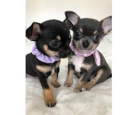 Pretty small and lovely AKC Reg Chihuahua Puppies