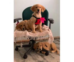 3 AKC Golden retriever puppies