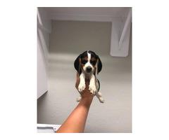 7 Akc Beagle puppies