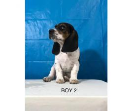 Basset x Beagle male pups