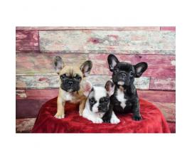 French bulldog puppies Brindle, Pied & Fawn!