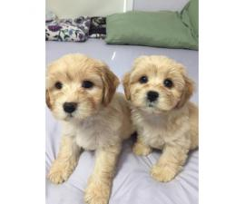 4 Shih-poo puppies available