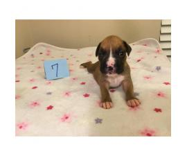 5 girls and 3 boys AKC Boxer Puppies