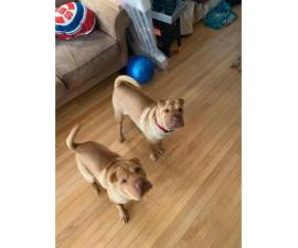 2 Sharpei puppies for sale