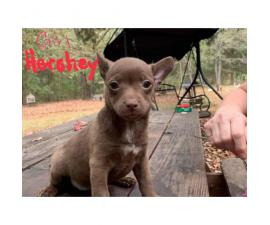 Chihuahua x Feist Hybrid Puppies