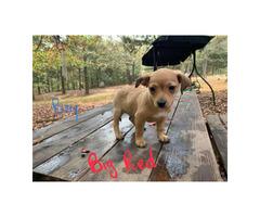 Chihuahua x Feist Hybrid Puppies