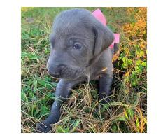 For Sale 10 Weimaraner puppies